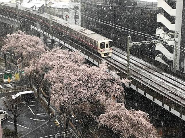 布滿着雪的路軌和蓋上了雪的櫻花,難得一見的畫面。(互聯網)