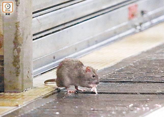 多位堪輿學家預測本港將受鼠患困擾。