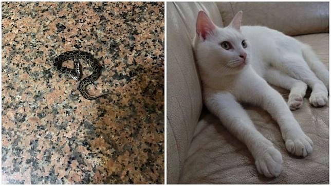 一名網友分享日前家中有鎖鏈蛇闖入,是飼養的愛貓「牛奶」把蛇打死。(圖/顏姓女網友提供)