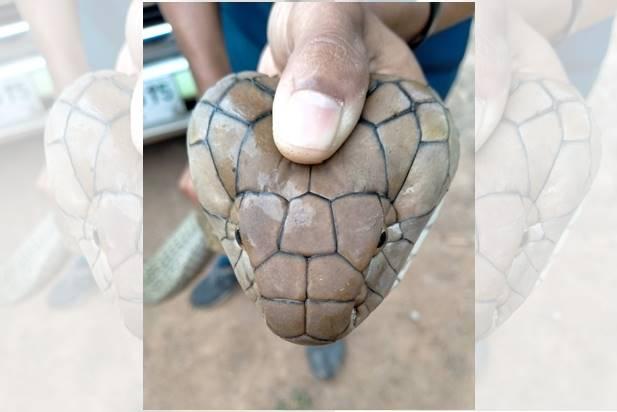 ผวา!! เห็นงูจงอางหนีเข้าไปอยู่ในห้องน้ำ แจ้งกู้ภัยมาจับ