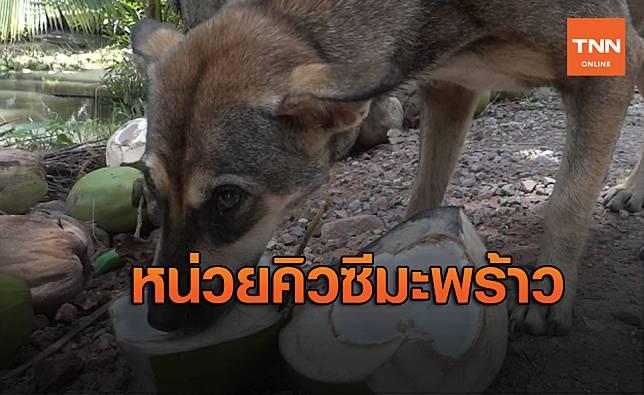 PETA รู้มีช็อก!ตูบใช้แรงงานในสวนมะพร้าวหวังแลก เนื้อมะพร้าวกินเป็นอาหาร