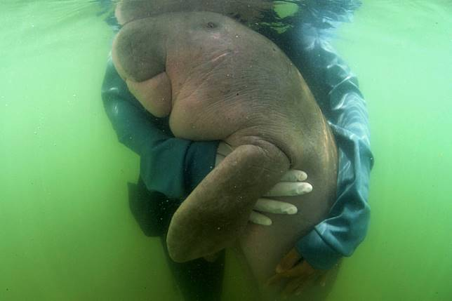 This file picture taken on May 24, 2019 shows Mariam the dugong as she is cared for by park officials and veterinarians from the Phuket Marine Biological Centre on Libong island, Trang province in southern Thailand. A sick baby dugong whose fight for recovery won hearts in Thailand and cast a spotlight on ocean conservation died from an infection quickened by bits of plastic lining her stomach, officials said on August 17, 2019.