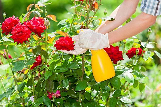 6 Cara Menanam Mawar Di Rumah Supaya Kebun Tampak Cantik Orami Magazine Line Today