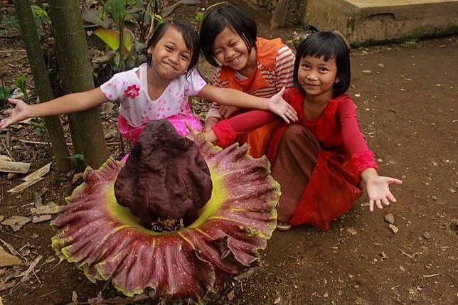 Sejumlah anak berfoto di dekat bunga bangkai (Amorphophallus titanum) yang muncul secara misterius di halaman rumah Sujiroh (42), warga RT 6 RW 2 Desa Brobot, Kecamatan Bojongsari, Purbalingga, Jawa Tengah, Selasa (21/11/2017).(KOMPAS.com/Iqbal Fahmi)