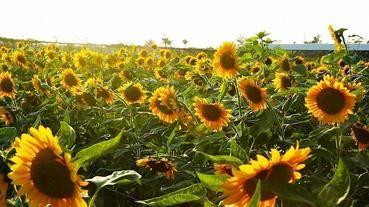 桃園景點推薦-觀音鄉親子旅遊向日葵主題【向陽農場】