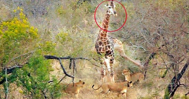 ▲長頸鹿遭飢餓母獅圍攻,下秒「劇情神反轉」網笑瘋。(圖/翻攝自影片)