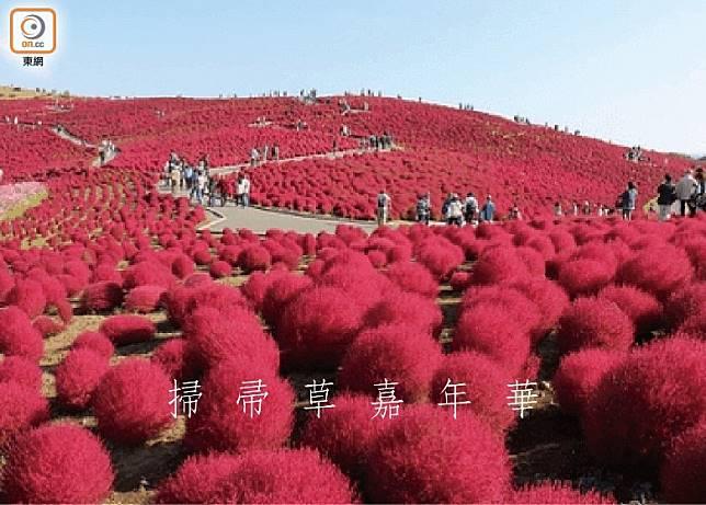 外表毛茸茸的掃帚草,到秋季即漸變成緋紅色,非常壯觀。(互聯網)