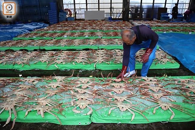 專業漁師會按蟹的大小、品質分類篩選,之後才正式開賣。(劉達衡攝)