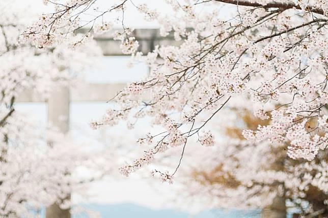 神社以櫻花為神紋,當地也是賞櫻和紅葉勝地,不是該劇粉絲也可來看看啊!(互聯網)