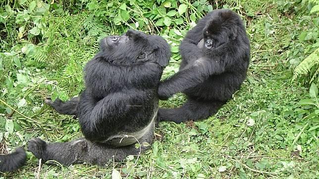山地大猩猩是即將滅絕的動物,目前僅剩下不到400隻。(圖/翻攝自維基百科)