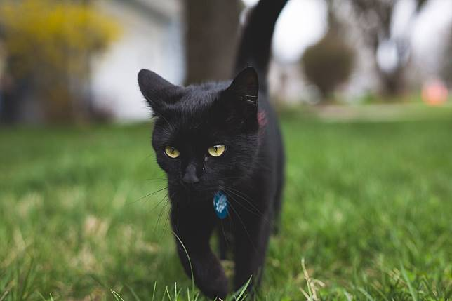 Dikenal Menyeramkan, Ini Dia 3 Fakta Unik Seputar Kucing Hitam