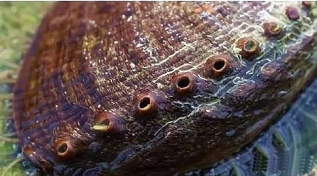 稱之為九孔並不代表每隻鮑魚都有9個窿,只係一個約數,九孔鮑一般有7至10個孔,會隨成長而形成新孔,故9個孔只係代表鮑魚夠成熟吧了!(互聯網)