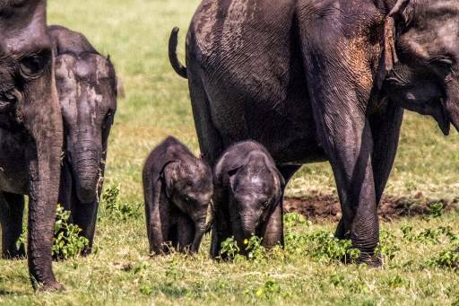 Two baby elephants walk among a herd at the Minneriya National Park in Minneriya on July 8, 2020. - A pair of baby elephants feeding from the same mother have been spotted in a Sri Lankan national park, with officials speculating on July 8 the two could be a rare set of twins.