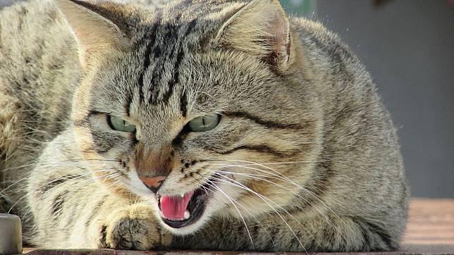 Kucing galak.