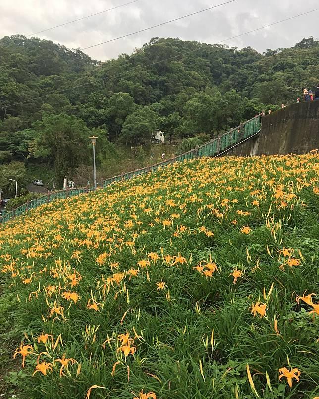 不只台東太麻里!熱搜《全台5大金針花海》:最近的就在台北!