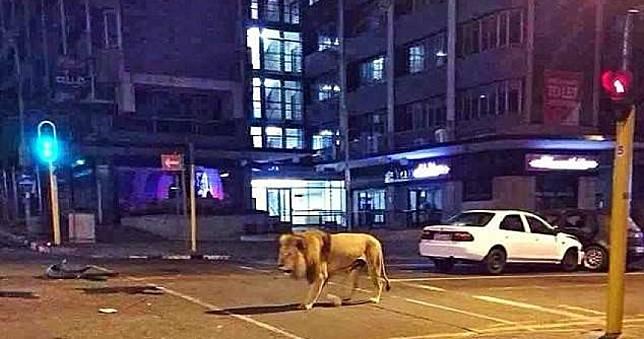 俄國放800隻獅子上街防民眾出門?發言人幽默回:放熊才有效率