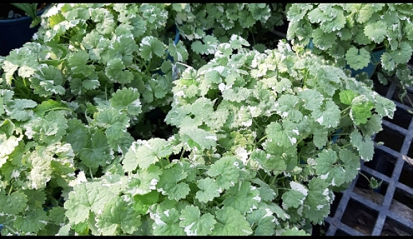 花花世界_香草植物--斑葉金錢薄荷--觀葉植物/5吋盆/高10-20cm/Ts
