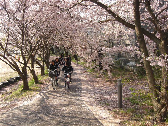 日本開學日 櫻花通學