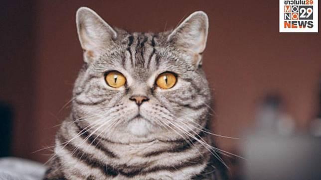 ทาสแมวฟังทางนี้ ผลวิจัยเผยคนสามารถอ่านความรู้สึกแมวจากสีหน้าได้