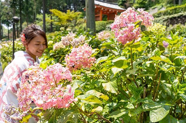 不少人玩京都都會體驗穿和服,過來三室戶寺與繡球花一起拍照效果亦不錯呀!