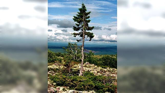 這棵挪威雲杉雖然身形瘦小,卻已經存活9550年。圖/翻攝自維基百科