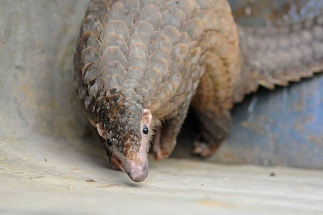 Pangolins may not have passed coronavirus on to humans, say Chinese scientists