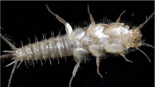 這種長有奇怪長鬚的怪蟲,學名叫做衣魚。(圖/翻攝自YouTube)