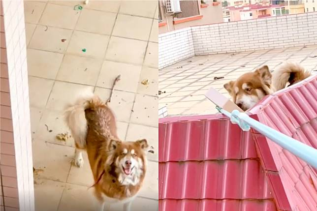▲女鄰居好心幫封路無法回家的飼主餵狗,真相卻讓她哭笑不得。(合成圖/翻攝喵喵哩個喵醬抖音)