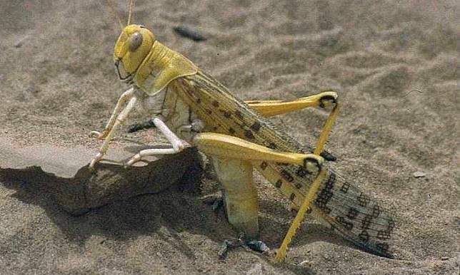 李家同/我們應該注意非洲的蝗蟲災難