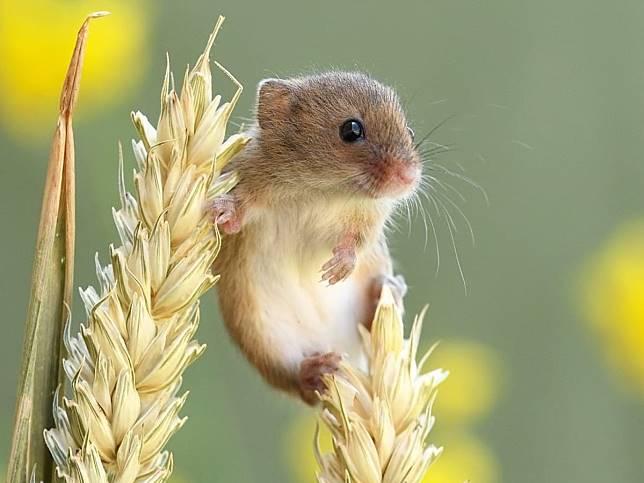 攝影師捕捉超迷你小巢鼠生活日常 萌萌童話感模樣超可愛!