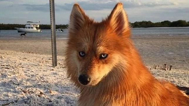 Tebak, hewan lucu nan menggemaskan ini rubah atau anjing? (Dok. Instagram/MyaThePomsky)