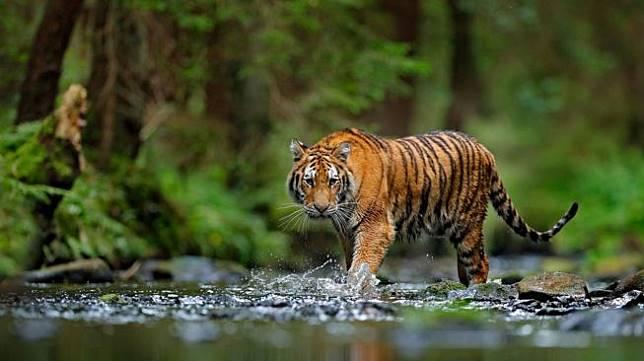 Ilustrasi harimau sumatera. (Shutterstock)