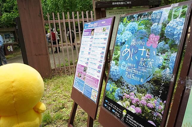 神戶市立森林植物園舉行繡球花散步活動。