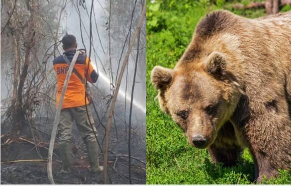 Karhutla dan beruang