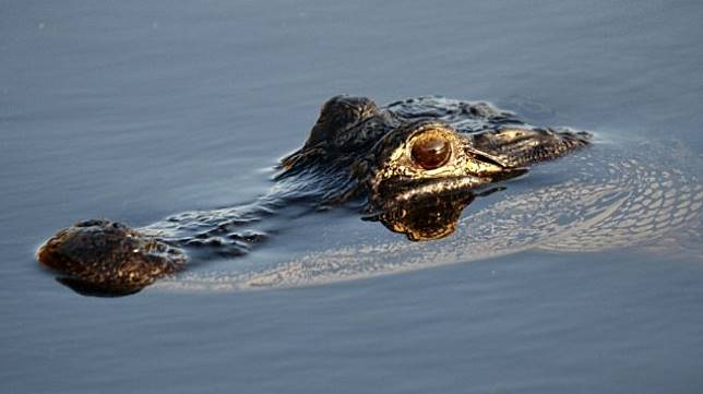 Seekor aligator sedang berenang di Fort Lauderdale, Florida pada April 2019. [AFP/Rhona Wise]