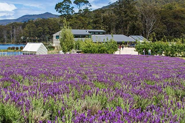 亞瑟港薰衣草(Port Arthur Lavender),大家可欣賞到18英畝的薰衣草田、雨林和湖泊,更可俯瞰海洋,一邊嘆咖啡一邊享受人生就最適合。(互聯網)