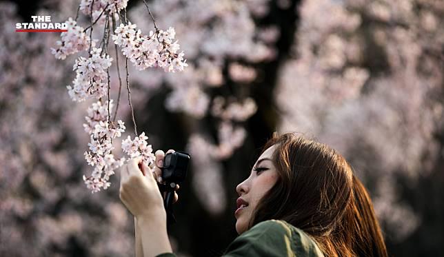 ญี่ปุ่นเซอร์ไพรส์ ซากุระบานก่อนกำหนดในฤดูใบไม้ร่วง เหตุเจอพายุถี่