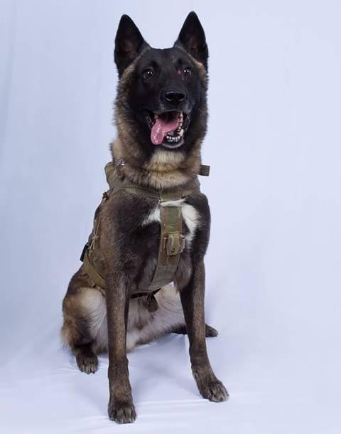 41+ Gambar anjing belgian malinois terbaru