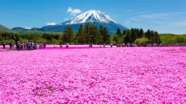 八十萬株芝櫻盡情盛放!四月富士芝櫻祭別錯過
