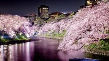 夜櫻實在是太美。