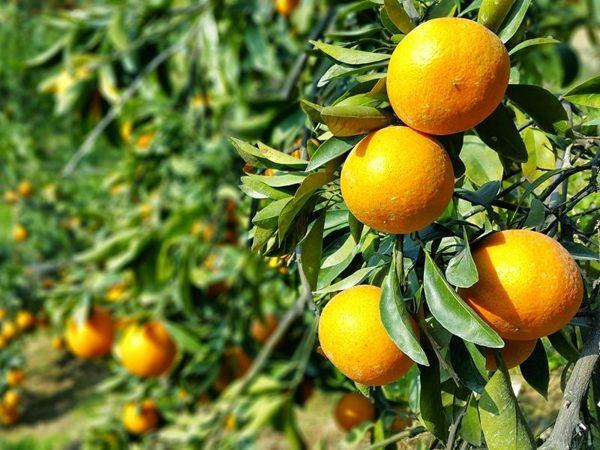 [台中]採果體驗-情人谷果園〔11月-隔年2月柑橘〕