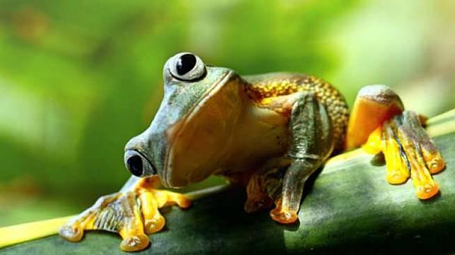 Seekor katak pohon hijau. [shutterstock]