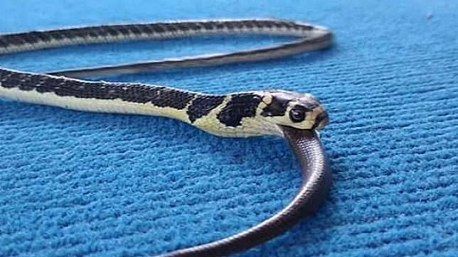 Masih Kecil Makanan Ular King Kobra Ini Cukup Mengejutkan