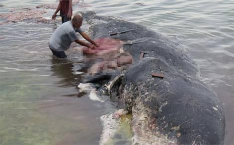 สุดสลด!พบขยะพลาสติกในท้องวาฬสเปิร์ม เกยตื้นริมหาดอินโดฯ