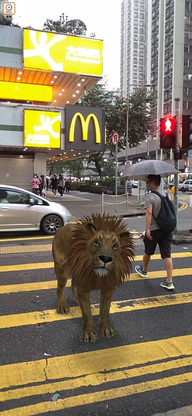 獅子行過馬路,使乜驚呀!(互聯網)