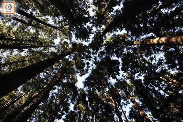 穿過茂密的紅松林時,在叢叢樹影中也聽浪濤聲。(劉達衡攝)