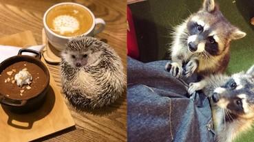 小鱷魚、刺蝟、綠蜥蜴都摸的到!特搜台灣「獵奇寵物咖啡廳」 網友:浣熊要食物的樣子超可愛~