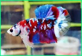 4 Jenis Ikan Cupang Mahal Yang Cocok Untuk Dipelihara Wajib Punya Merdeka Com Line Today