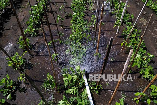 Lahan pertanian di kawasan pesisir Bantul, Yogyakarta, Selasa (30/6). Warga pesisir Selatan Bantul berhasil mengembangkan pertanian pesisir. Komoditas seperti cabai, bawang merah, dan sayuran menjadi pilihan utama petani di sana.