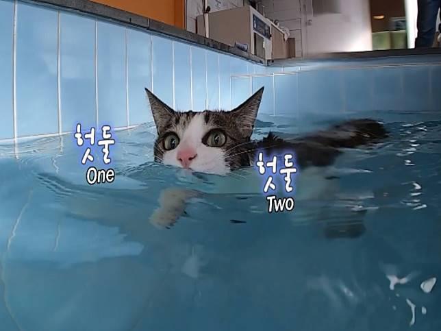 虎斑貓咪愛游泳 掌花開開貓爬式網驚豔:比我還會游!